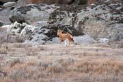 Etiopský vlk. Národní park Bale Mountain. Jih,  Etiopie.