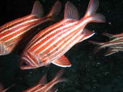 Crown squirrelfish (Sargocentron diadema). Lokalita Richelieu Rock. Thajsko.