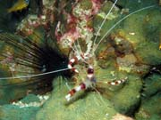 Cleaner shrimp (Stenopus hispidus). Lokalita Richelieu Rock. Thajsko.