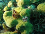 Christmas tree worms, lokalita El Encanto, Maria La Gorda. Kuba.