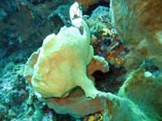 Frogfish (rozedranec), Bangka dive sites. Sulawesi,  Indon�sie.
