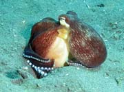 Coconut octopus, Lembeh dive sites. Sulawesi,  Indon�sie.