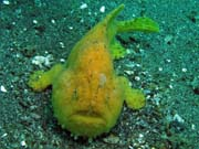 Frogfish octopus, Lembeh dive sites. Sulawesi,  Indon�sie.