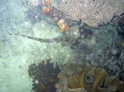 Bambusov� �ralok, (Whitespotted bamboo shark). Lokalita Mike's Point, Raja Ampat. Papua,  Indon�sie.